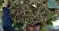 We're ready to lose Somalia market, miraa traders say